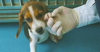 Trung Quốc nhân bản chó chỉnh sửa gene để nghiên cứu bệnh tim