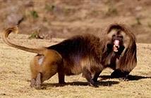 Vua khỉ đầu chó bị hạ bệ vì quá nhiều thê thiếp