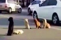 Bốn chó hoang đứng canh xác đồng loại bị xe tông chết giữa đường