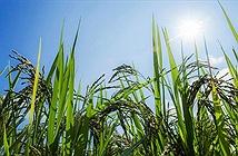 Trung Quốc biến đổi gene lúa để tăng năng suất