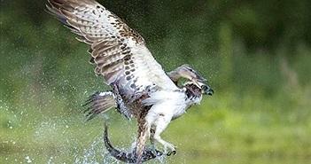 Chim ưng biển vật vã chiến đấu với vịt hoang dã