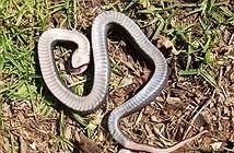 Tuyệt chiêu giả chết của loài rắn có họ hàng với hổ mang cực độc
