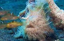 Đám lông lá này thực chất là một con cá và tốc độ ra đòn của nó không thể thấy nổi