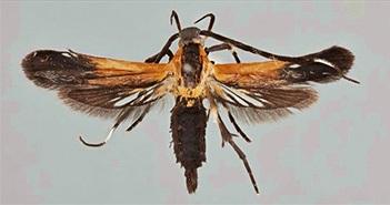 Sửng sốt hai loài bướm đêm lạ lùng vừa được phát hiện
