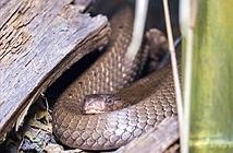 Video: Phát hiện cả ổ hơn chục con rắn hổ mang chúa trốn dưới nền nhà