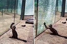 Khỉ thông minh mài sắc đá đập vỡ cửa sổ vườn thú khiến du khách kinh ngạc