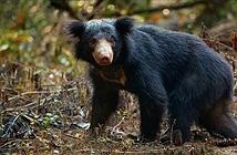 Kinh dị người đàn ông săn gấu hoang dã, cắt lìa của quý chỉ vì...