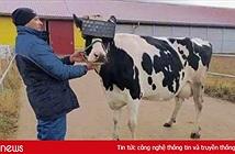 Cho bò xem phim thực tế ảo để thu nhiều sữa