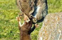 Chồn ecmine và thỏ rừng kịch chiến nhanh như chớp