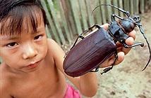 10 loài côn trùng lớn nhất thế giới hiện nay