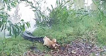 Chó đánh đuổi cá sấu dài 4m chạy trối chết