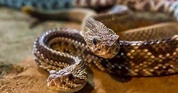 Hãi hùng 30 con rắn chuông ẩn nấp trong vườn nhà