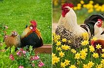 Ảnh đẹp mê mẩn về chuyện yêu đương của loài gà