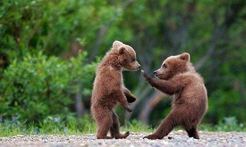 Khi gấu nâu hoang dã ra đòn hiểm với đồng loại