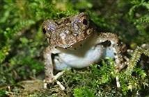 Phát hiện một loài ếch đá mới ở Việt Nam