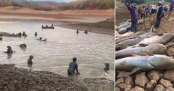 Cá trê khổng lồ chết la liệt do hạn hán ở Thái Lan