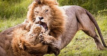Choáng ngợp cảnh tượng sư tử đực đấu đá vương quyền