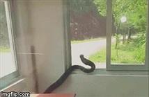 Video: Lạnh người khi thấy con rắn hổ mang chúa bò khắp phòng