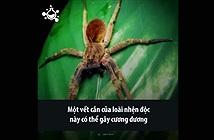 Video: Loài nhện có nọc độc được ví như viagra tự nhiên