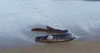 Sinh vật kỳ quái phát sáng trong đêm dạt vào bãi biển Úc