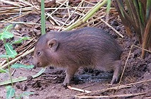 Loài lợn nhỏ nhất thế giới tưởng chừng đã tuyệt chủng