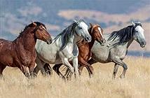Sự thật về những con ngựa hoang dã của Mỹ