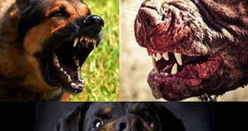 Top 5 loài chó nguy hiểm nhất thế giới
