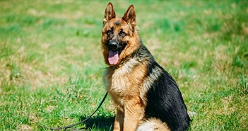 Chó bẹc-giê Đức đang chết dần chết mòn do ý thích của con người