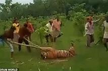 Hổ dữ tấn công người, chết đau đớn vì bị dân làng quây đánh