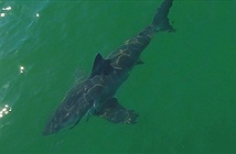"""Nước ấm lên, biển ngoài khơi California bất ngờ hóa """"công viên cá mập trắng"""""""