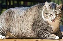 Vì sao lũ mèo ngày càng béo lên, xếp vào hàng siêu to khổng lồ?