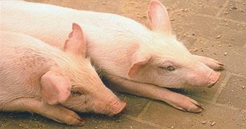 Dịch tả lợn ở Trung Quốc có thể lây lan sang các nước khác