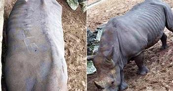 Thân thiện với du khách, tê giác bị tổn thương đầy mình