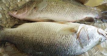 Khám phá thú vị về loài cá chẽm nổi tiếng miền Tây