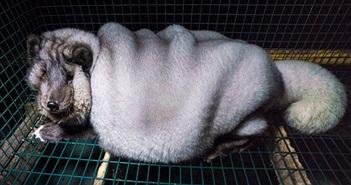 Xót xa cáo Bắc cực bị vỗ béo gấp 5 lần để lột da