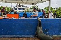 Xem sư tử biển kiên nhẫn xếp hàng ăn xin người bán cá