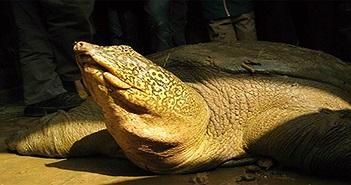 Hà Nội lên kế hoạch phục hồi loài rùa Hoàn Kiếm