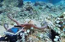 Bạch tuộc cướp camera thợ lặn, dùng 8 xúc tu giằng co kịch liệt