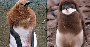 Bộ mặt khác lạ của chim cánh cụt khiến ai cũng ngỡ ngàng
