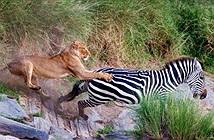 Sư tử tấn công, ngựa vằn thoát chết với tốc độ kinh người