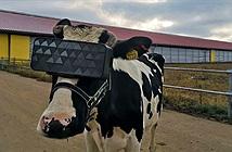 Bò xem phim VR vắt được nhiều sữa hơn