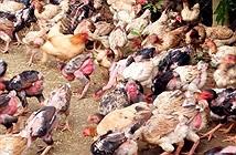Chọn gà Đông Cảo đạt chuẩn để bảo tồn nguồn gen thuần chủng
