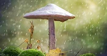 Ngộ nghĩnh khoảnh khắc bọ ngựa trú mưa dưới cây nấm