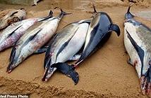 Hơn 1000 con cá heo chết bí ẩn, tăng kỷ lục