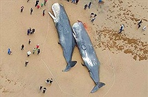 Bụng cá voi chết trên biển châu Âu chứa đầy rác