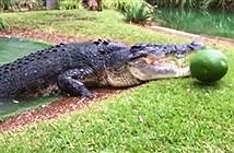 Khoảnh khắc cá sấu khổng lồ phô diễn sức mạnh tuyệt đối