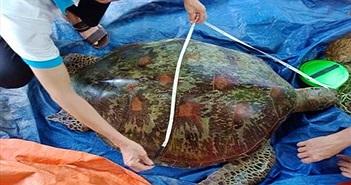Tiết lộ thú vị về giống rùa biển vừa mắc lưới ngư dân Quảng Nam