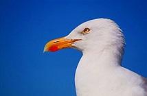 Hãi hùng vợ chồng già bị chim hải âu bắt làm con tin