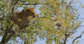 Kịch tính cảnh báo hoa mai trèo cây bắt khỉ