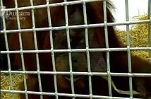 Con đười ươi đầu tiên trên thế giới gần học được cách nói tiếng người